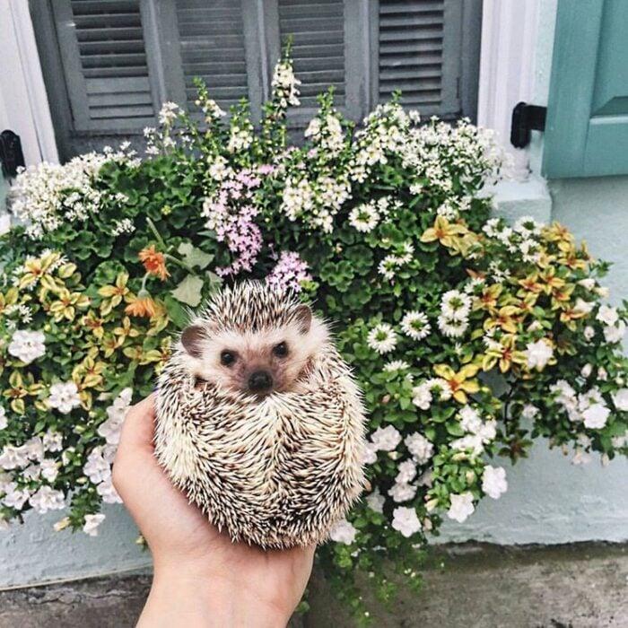 Mano sosteniendo a erizo hecho bolita frente a un arbusto con flores