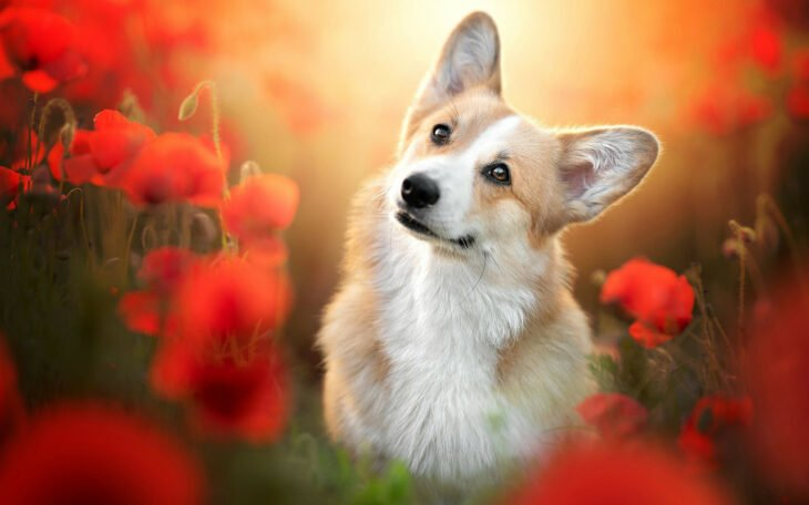 Perro corgi inclinando la cabeza de lado en un campo de flores naranjas