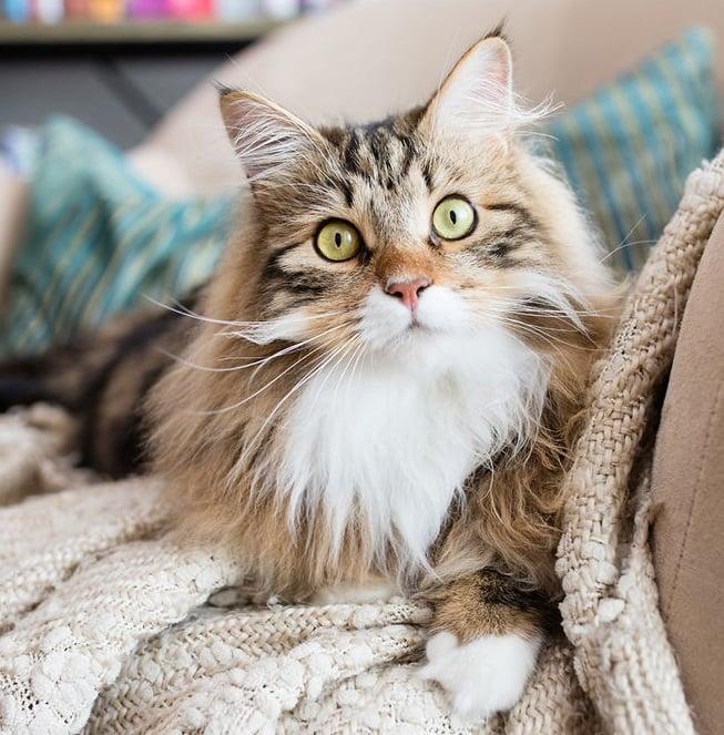 Gato de pelo largo color café con rayas negras y pecho blanca acostado en una sillón café