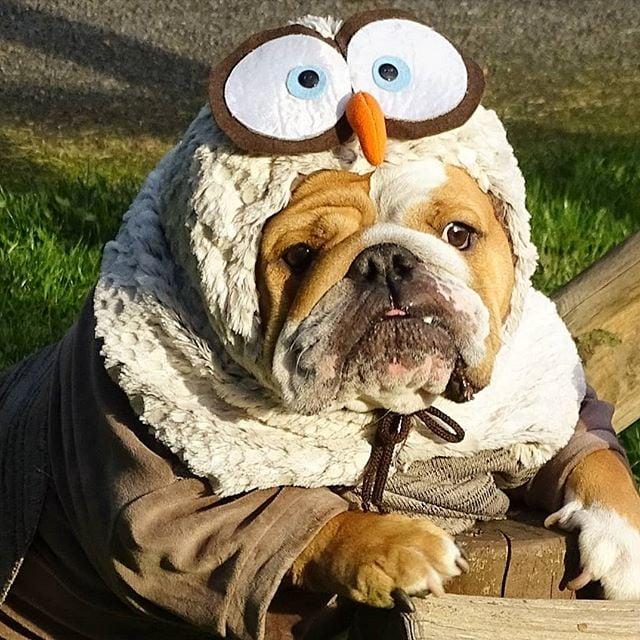 Perrito bull dog disfrazado como pavo real animado