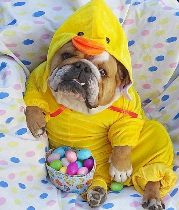 Perrito bull dog disfrazado como pato y comiendo caramelos