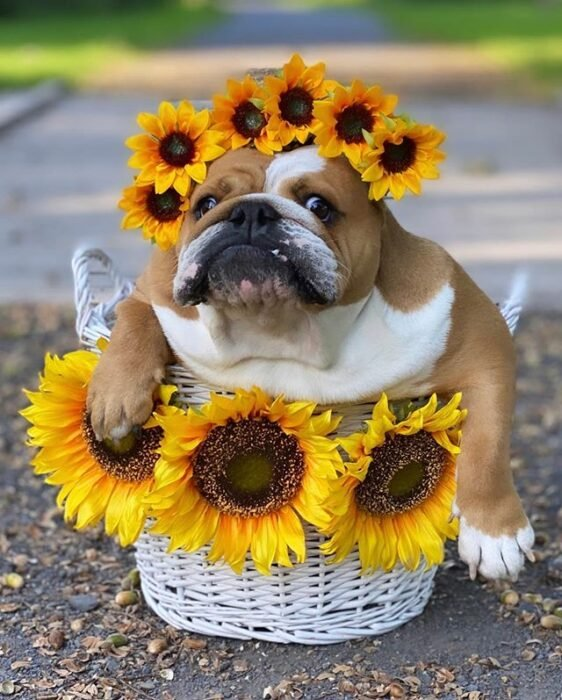Perrito bull dog disfrazado con flores de girasol