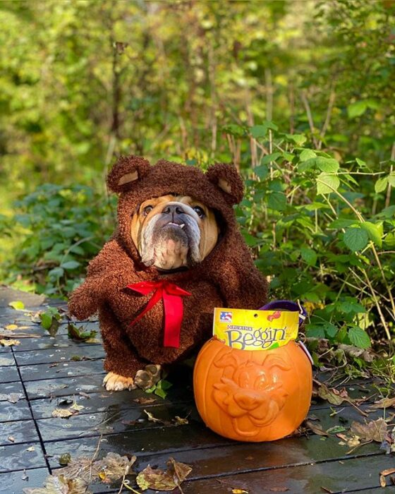 Perrito bull dog disfrazado como oso