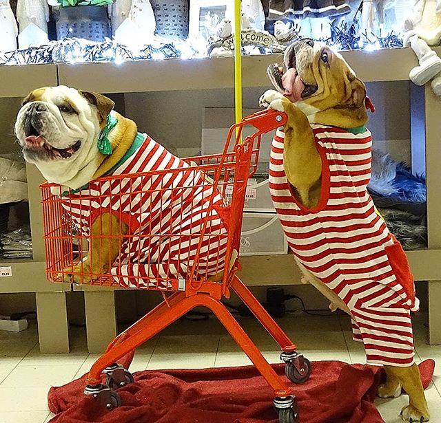 Perritos bull dog haciendo las compras