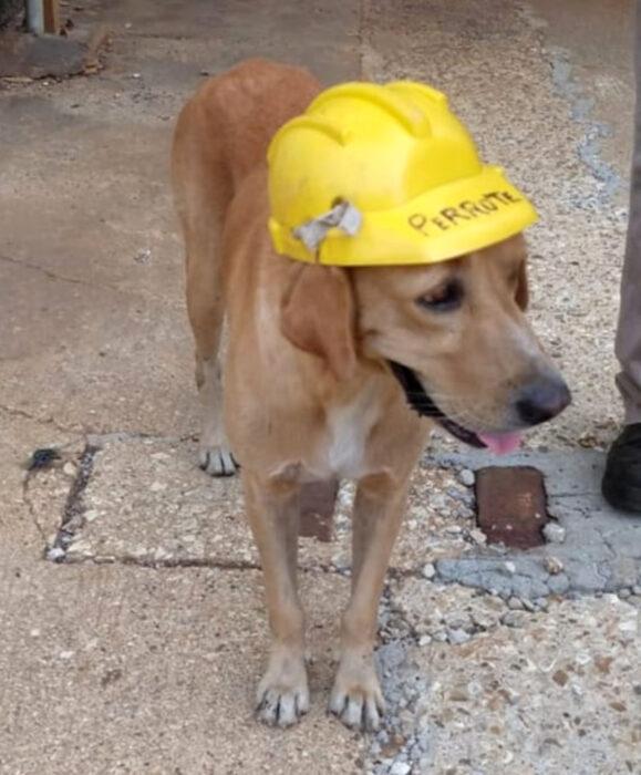 Perrote, perro labrador dorado que trabaja en Pemex, con su casco