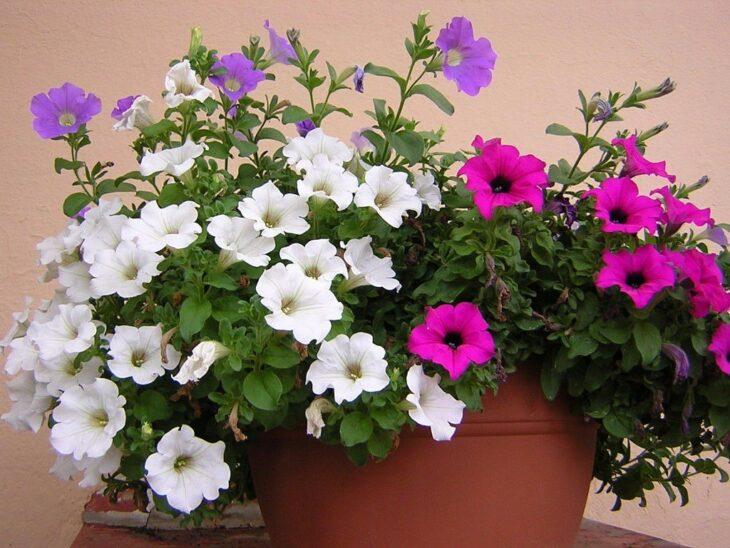 Petunias blancas y rosas