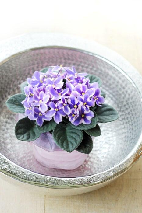 Violeta en maceta blanca