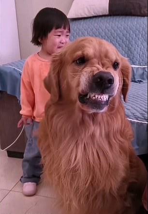 Perro golden retriever mostrando sus dientes para defender a su dueña