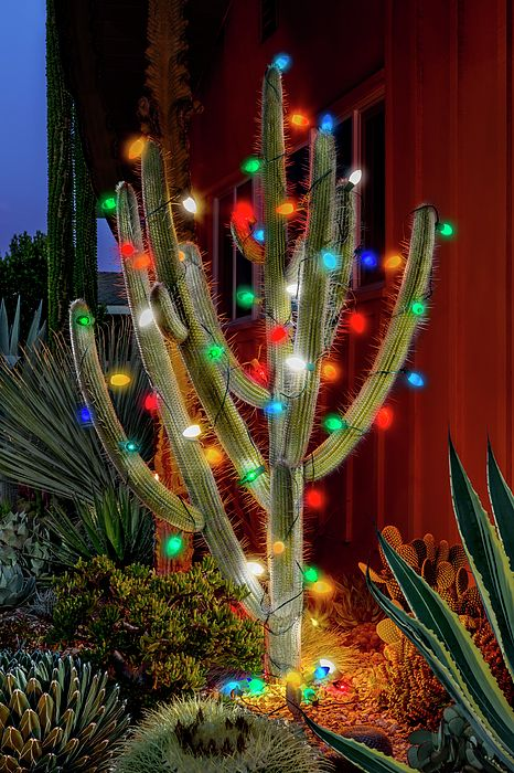 Cactus real decorado con luces navideñas de colores