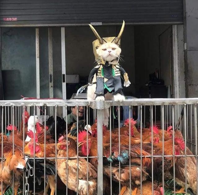 Gatito Chó con disfraz de Loki arriba de una jaula con gallinas