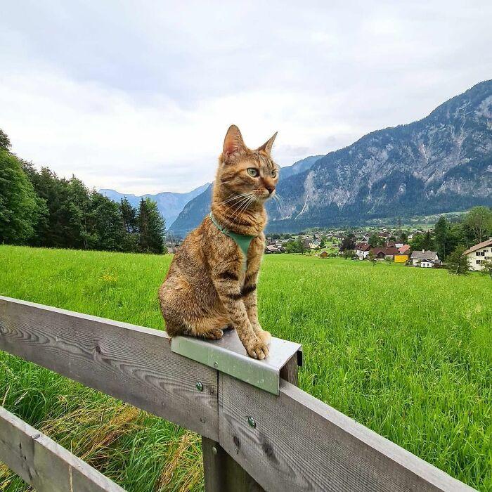 Gato café con rayas negras sentado en una valla de madera con un campo verde de fondo y montañas