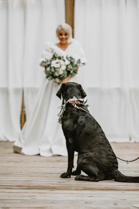Perrito Labrado de color negro viendo a su dueña vestida de novia