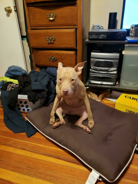 Perro pitbull color beige sentado en una cama pequeña color café