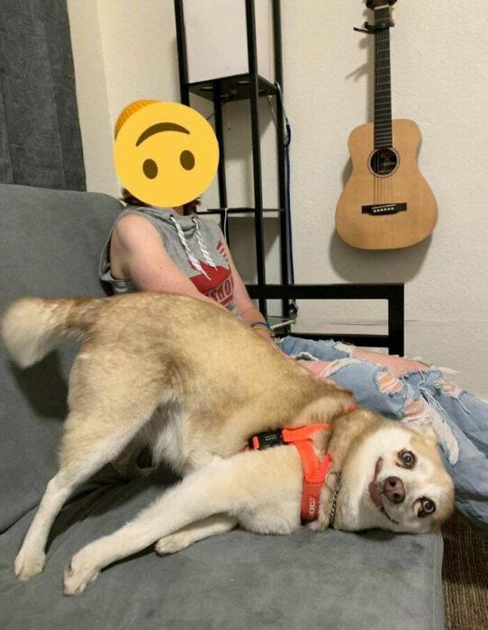 """Perro blanco con beige apoyando la cabeza en un sillón gris mientras """"soríe"""""""