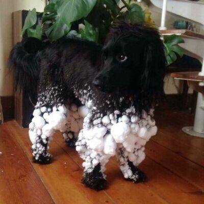 Perro negro de pelo largo con las patas llenas de bolas de nieve