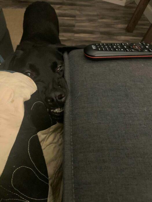 Perro labrador negro metiendo el hocico entre los cojines de un sillón café