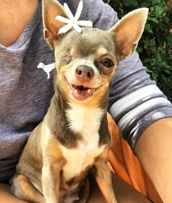 Perros sonriendo; perrito chihuahueño de pelo corto color gris, café y blanco con pecho blanco, con un ojo