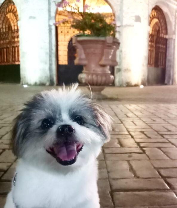 Perros sonriendo; perrito cachorro peludo color blanco con manchas grises