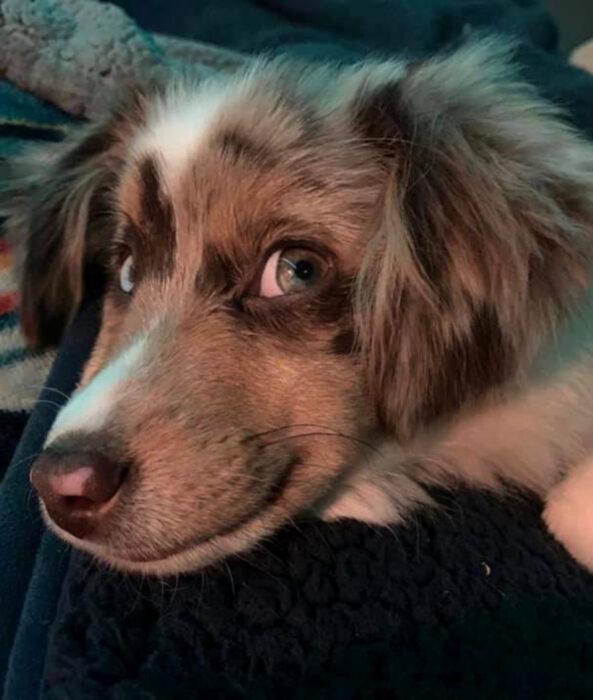 Perros sonriendo; perrito cachorro pastor australiano color blanco, café y gris con ojos verdes