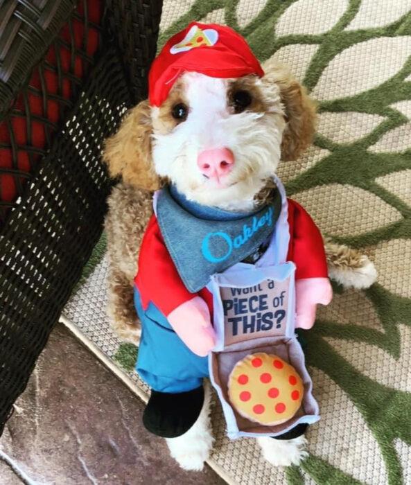 Perros sonriendo; perrito caniche de pelo rizado color café y blanco con disfraz de repartidor de pizza