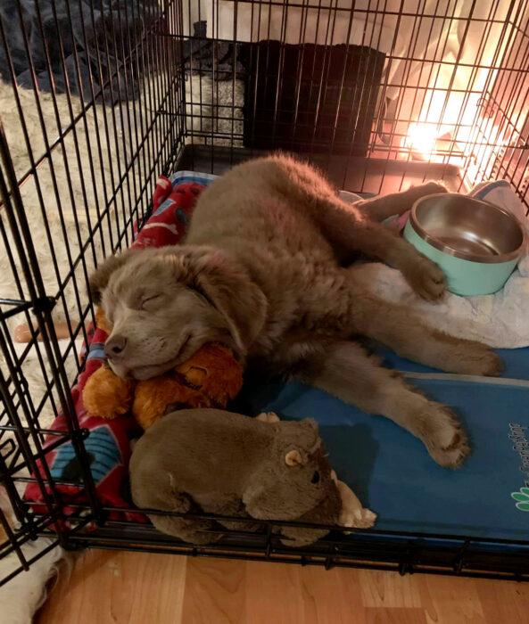 Perros sonriendo; perro labrador café, cachorro dormido con su peluche
