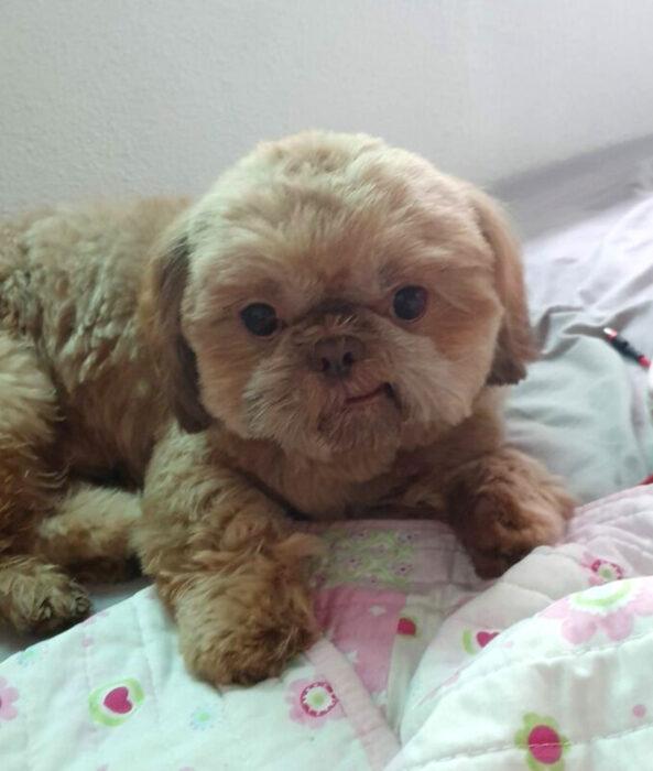 Perros sonriendo; perrito french poodle color café