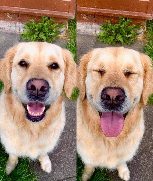 Perros sonriendo; perrito golden retriever color miel