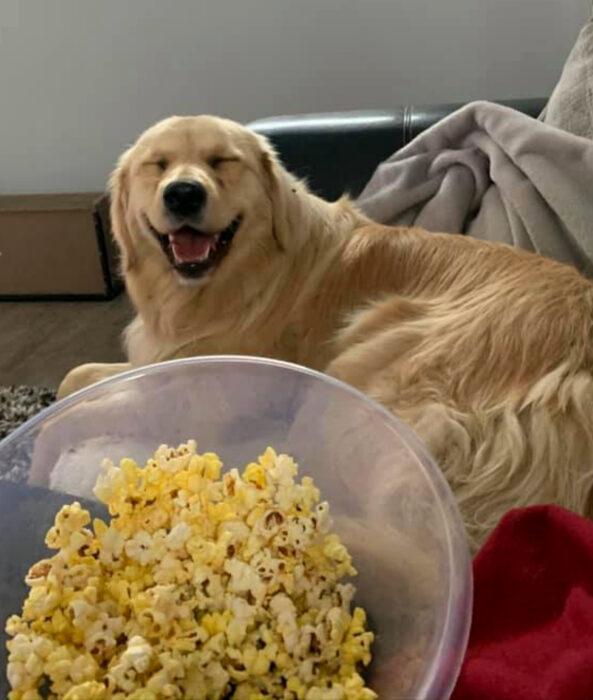 Perros sonriendo; perrito adulto golden retriever de pelo largo color miel sentado en el sillón comiendo palomitas