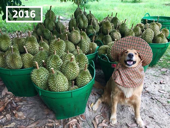 Perro golden retriever Jubjib posando en cosecha de durian