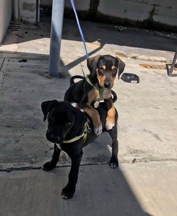 Par de perritos jugando en el patio trasero de una casa; Volkswagen contrata a perritos y les dan su credencial de empleados