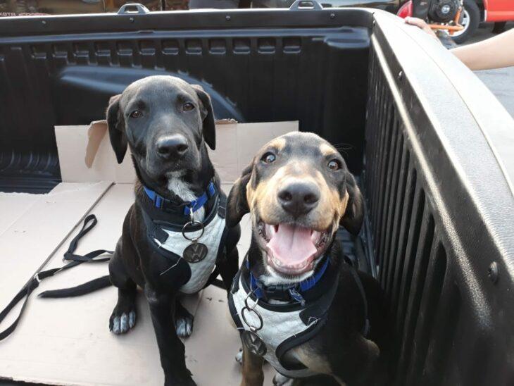 Perros mestizos sobre una camioneta; Volkswagen contrata a perritos y les dan su credencial de empleados