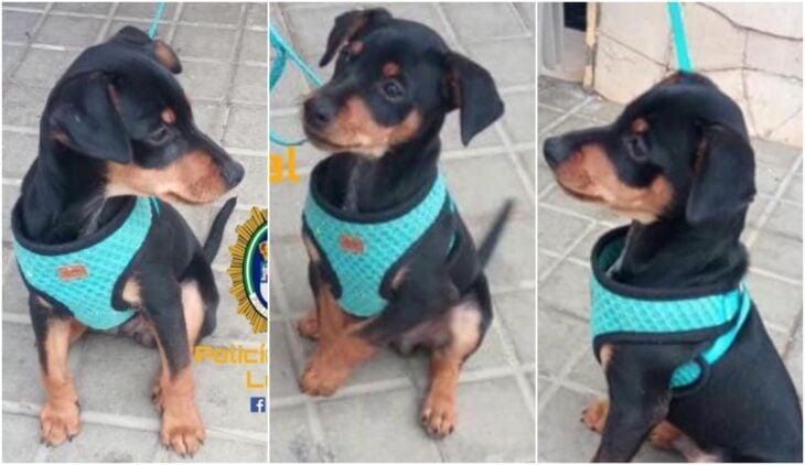 Pewrrito usando correa azul aguamarina; Niño perdió a su perrito y ofrece una barra de chocolate a quien lo encuentre