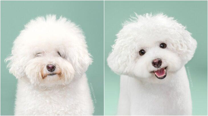 perro blanco sonriendo ;Perritos antes y después de un corte de cabello