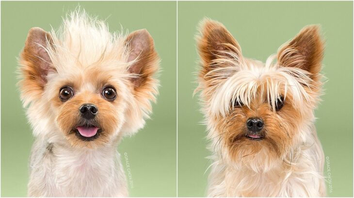 perro pequeño en tono color miel ;Perritos antes y después de un corte de cabello