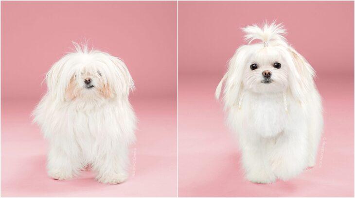 perro de raza pequeña en tono blanco; Perritos antes y después de un corte de cabello