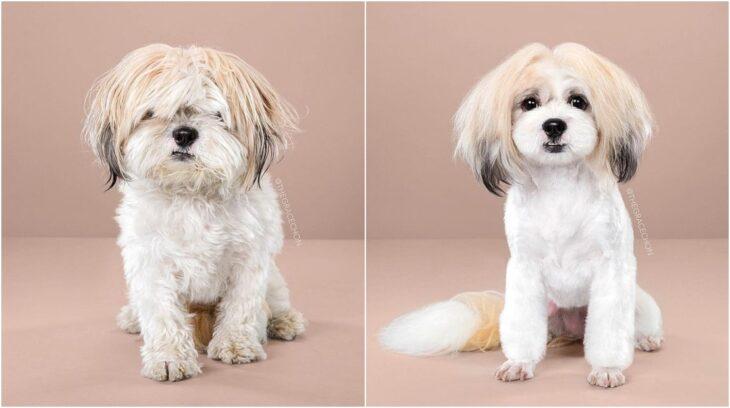 Perro con pelaje blanco con beige ;Perritos antes y después de un corte de cabello