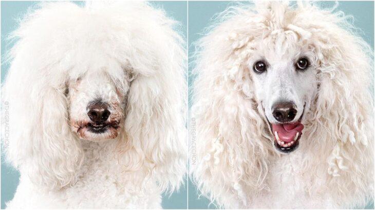 perro de talla grande con pelaje rizado ;Perritos antes y después de un corte de cabello