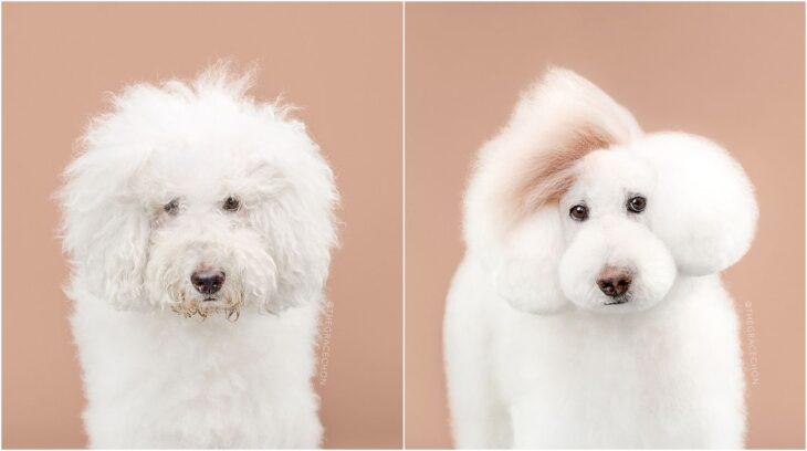 perro blanco con pelaje esponjado ;Perritos antes y después de un corte de cabello