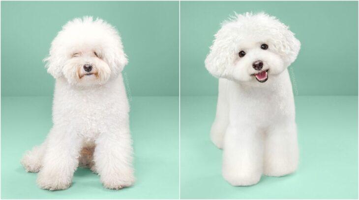perro con rizos en tono blanco ;Perritos antes y después de un corte de cabello