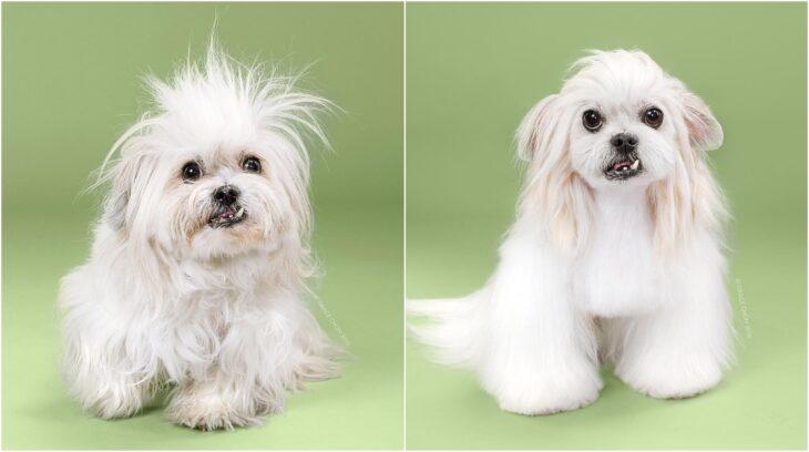 pero schnauzer despeinado ;Perritos antes y después de un corte de cabello