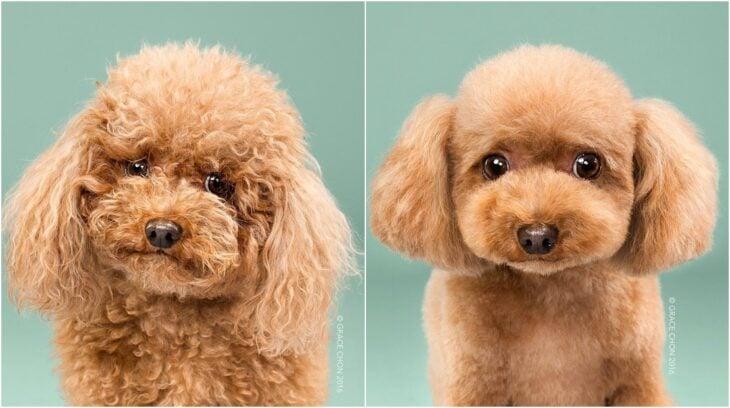 perro de pelaje rizado en tono caramelo ;Perritos antes y después de un corte de cabello