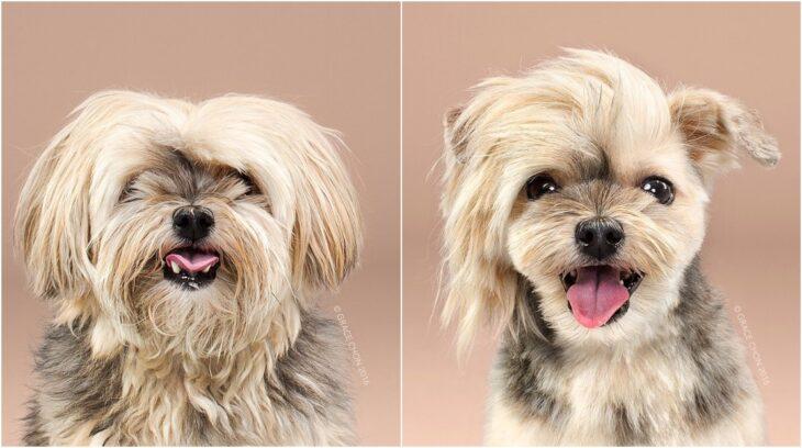 perro pequeño con pelaje dorado y negro ;Perritos antes y después de un corte de cabello