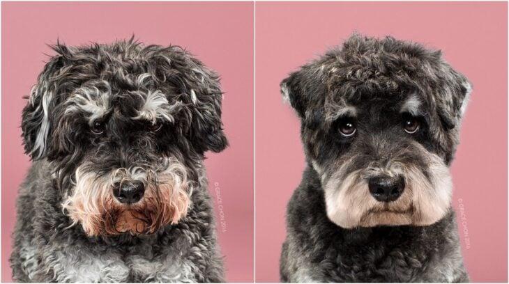 perro con pelaje rizado en tono negro ;Perritos antes y después de un corte de cabello