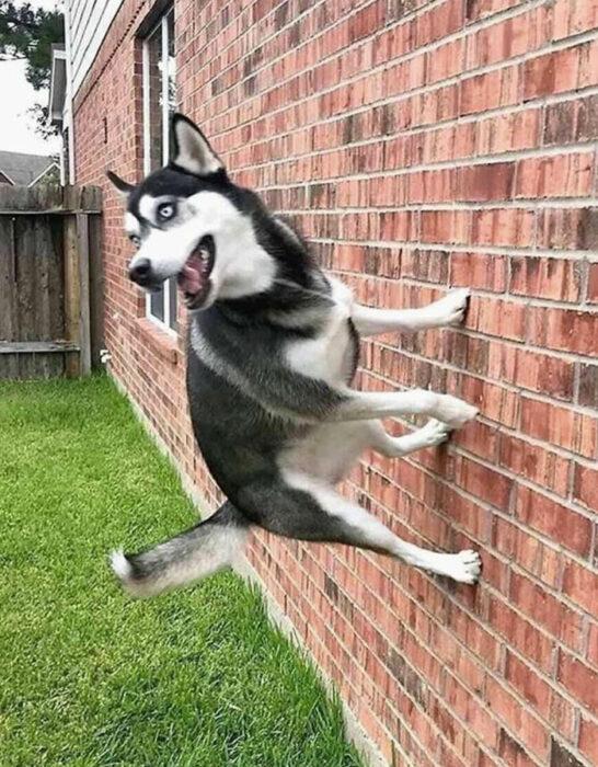 Perrito corriendo por la pared
