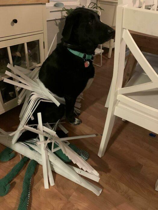 Perrito destruyendo las cortinas