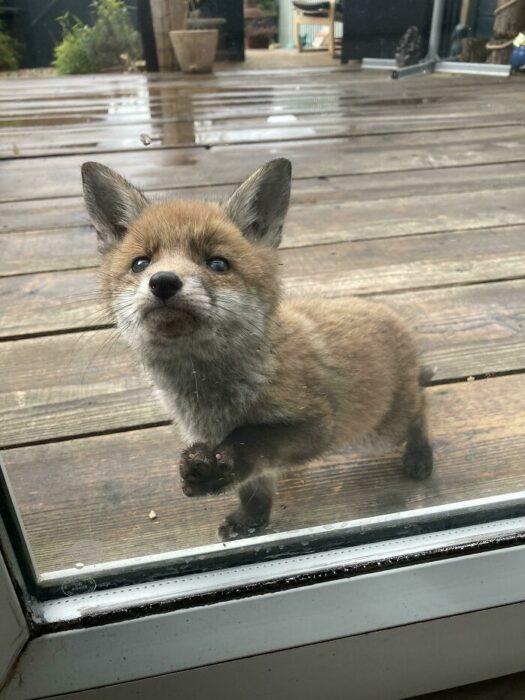 Zorro bebé tocando la puerta del jardín de una familia