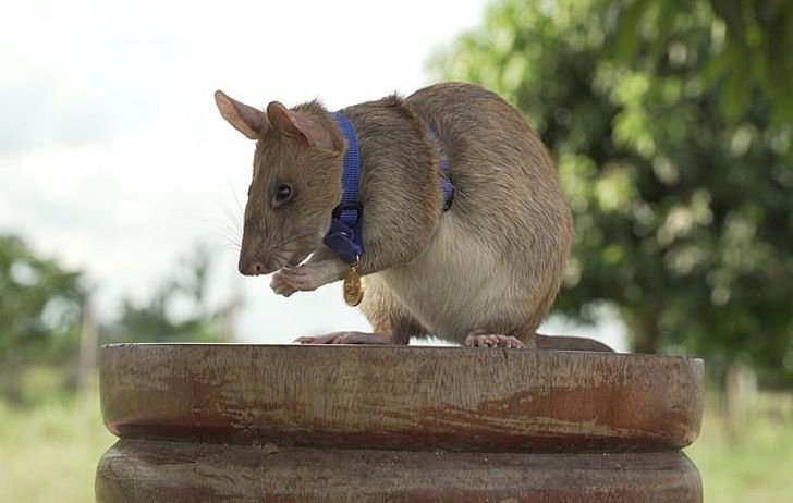 Magawa rata que puede descubrir minas