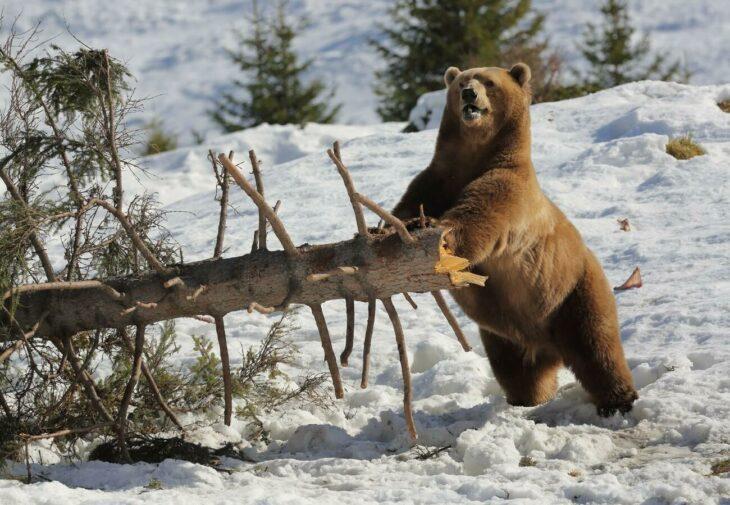 Oso jugando con la nieve y un árbol en suiza