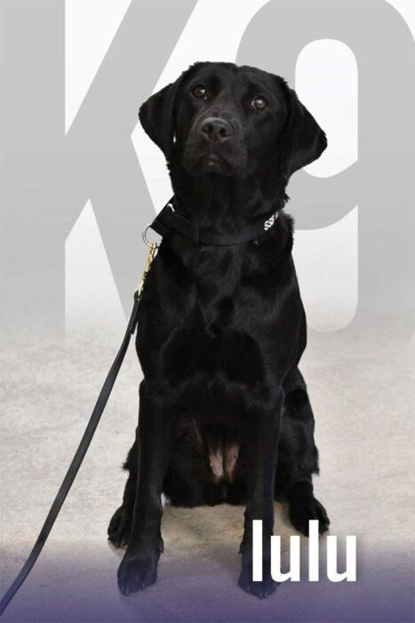 Lulu, perrita labrador de un equipo de élite en la CIA