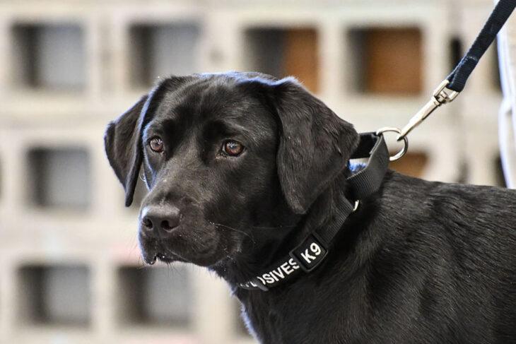 Perrito labrador de color negra llamada Lulu